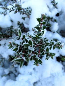 Frosted foliage in snow