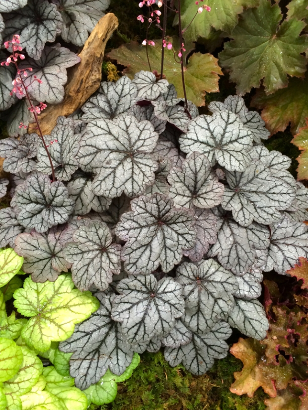 Heuchera with silvery, veined foliage