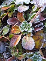 Succulent covered in frost