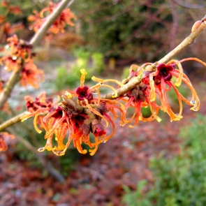 Apricot witch hazel