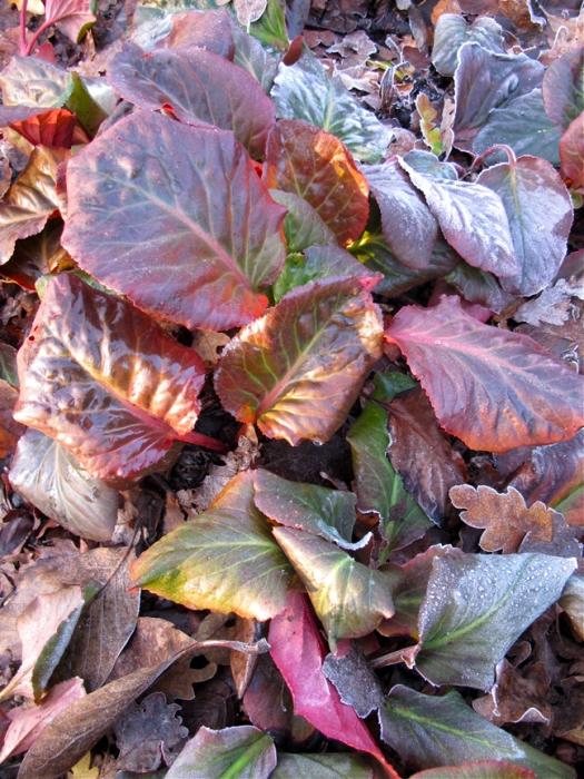 Bergenia leaves in winter