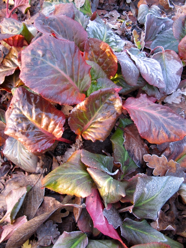 Bergenia leaves in winter