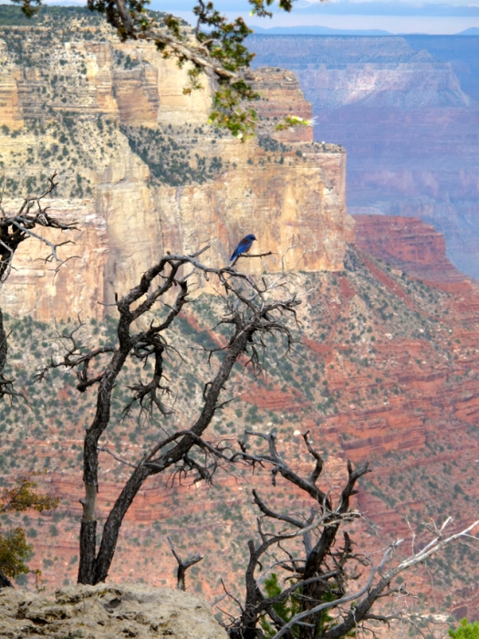 Blue bird on a contorted tree at the grand canyon