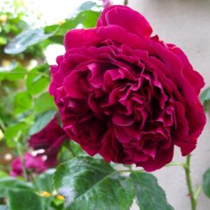 Falstaff rose