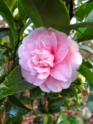 First camellia
