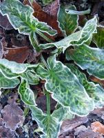 Frosty arum