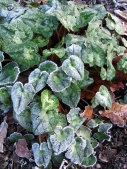 Frosty cyclamen leaves