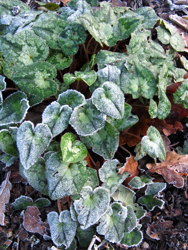 Frosty cyclamen leaves