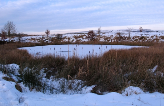 Frozen pond with bulrushes