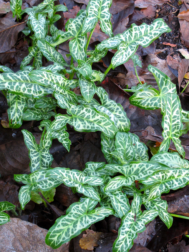 Painted arum and winter leaves