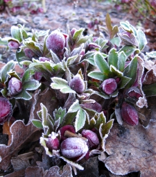 Purple hellebore buds in winter