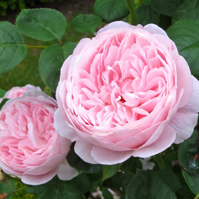 Queen of Sweden rose