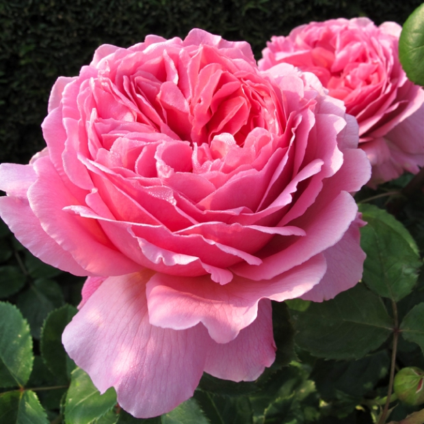 Rosa 'Princess Alexandra of Kent'