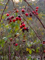 Rose hips at Dunham Massey