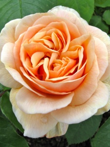 Apricot rose at Gresgarth Hall