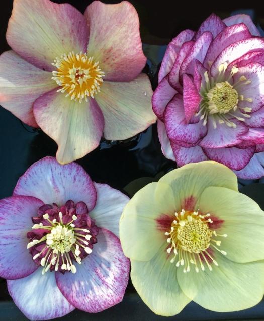 Hellebore Ashwood Garden Hybrids