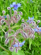Borage with cornflowers