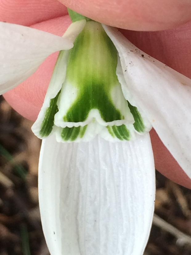 Fish in a snowdrop