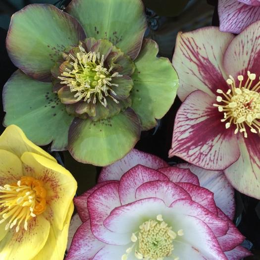 Hellebore Ashwood Garden Hybrid Green