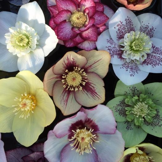 Hellebore Ashwood Garden Hybrid Mix