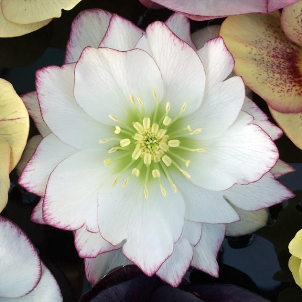 Hellebore Ashwood Garden Hybrid Picotee Double