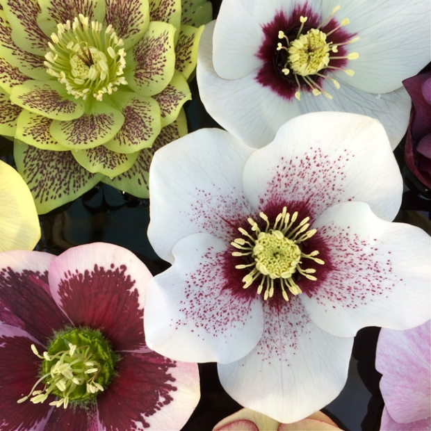 Hellebore Ashwood Garden Hybrid Spotted