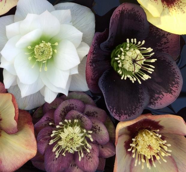 Hellebores: Ashwood Garden Hybrids