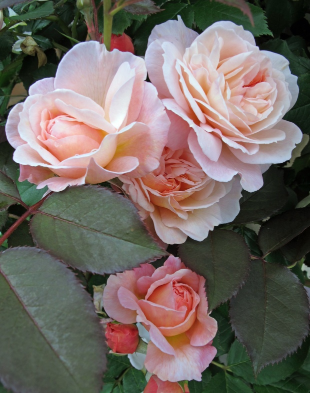 'A Shropshire Lad' rose buds