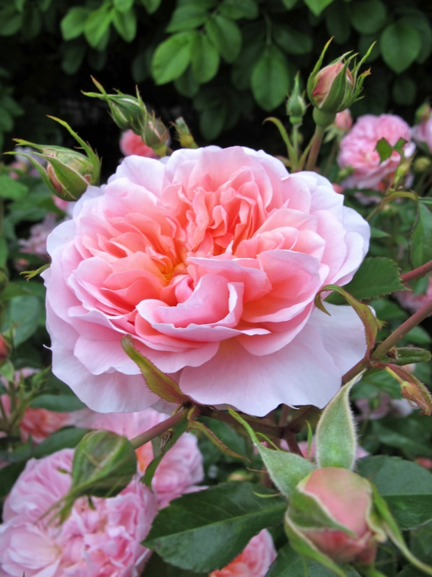 Anne Boleyn rose