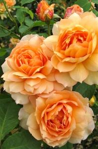 Rosa 'Grace' flower cluster