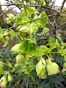 Green hellebore with red picotee effect