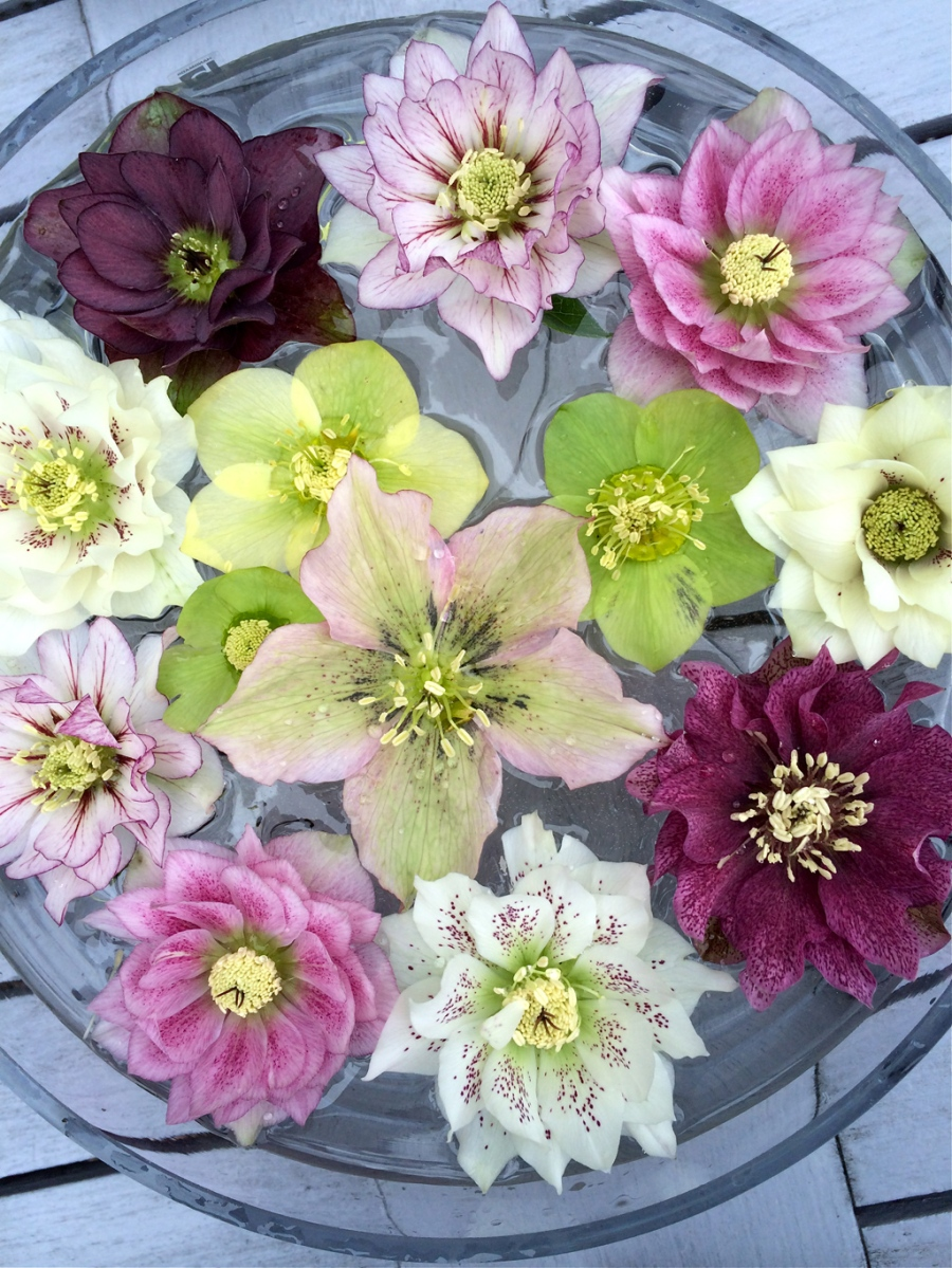 Hellebore Day