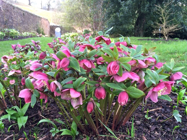 Hellebore with many flowers