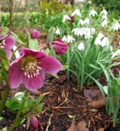 Hellebore with snowdrops