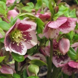 Hellebore with heavy spotting