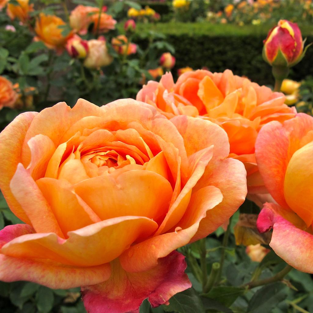 gallery of orange english roses susan rushton. Black Bedroom Furniture Sets. Home Design Ideas