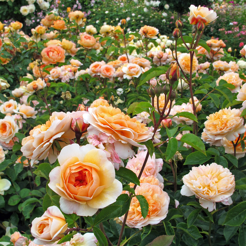Roses In Garden: Gallery Of Orange English Roses