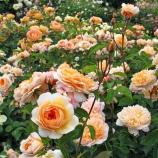Orange rose garden