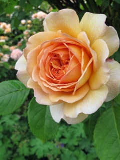 Orange English rose: 'Grace'