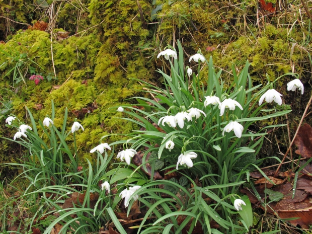 Snowdrops growing on a mossy bank