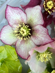 Spotted picotee hellebore