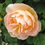 Rosa 'The Lark Ascending'
