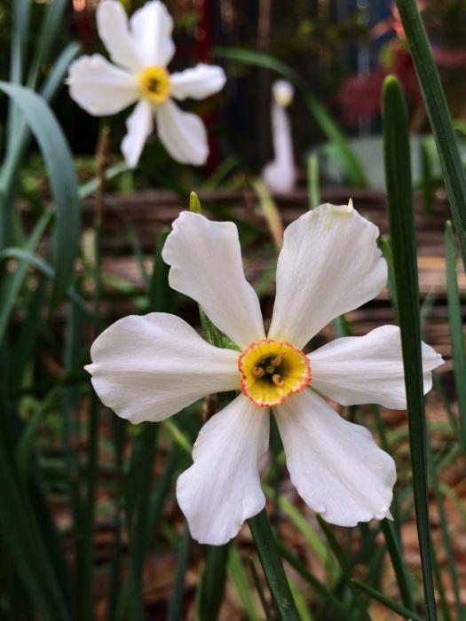 Narcissus poeticus Pheasant's Eye