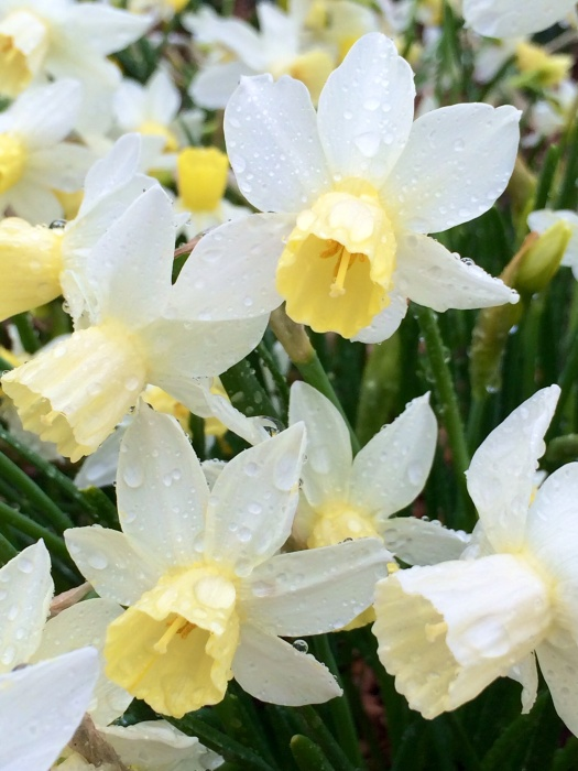 Daffodils at dawn