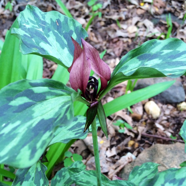 Trillium with spotted leaves