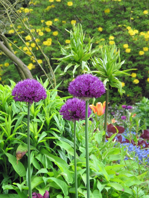 Alliums-at-Dorothy-Clive-Gardens
