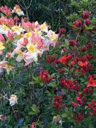 Azaleas-at-Dorothy-Clive-Gardens