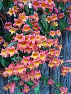 Bignonia capreolata 'Tangerine Beauty'