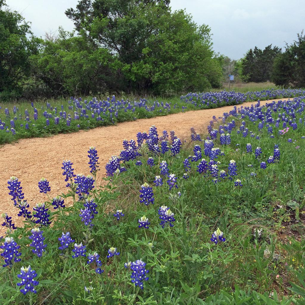 Bluebonnets by path