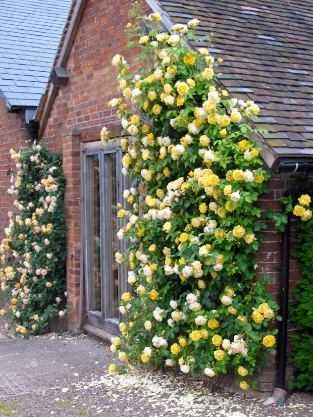 English Climbing roses